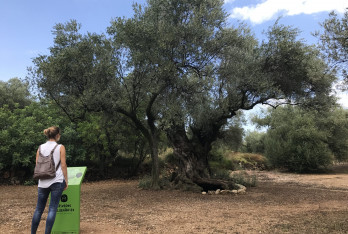 Pla de creació de producte oleoturístic a l'entorn de les oliveres mil·lenàries de la Taula del Sènia